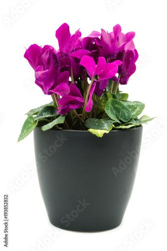alpenveilchen blume zimmerpflanze topfpflanze isoliert freigestellt ...