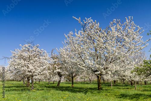 Apple and Cherry tree blossom near Ockstadt