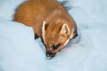 Single Weasel Sitting At Snow ...