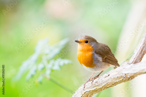 A little robin in the garden with green background Wallpaper Mural