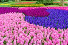 Pink And Purple Flowering Hyac...