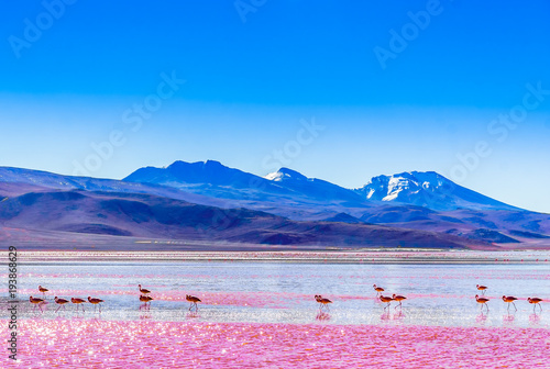 View on group of Flamingos by lagoon Colarada in the mountains of Bolivia