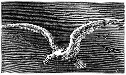 victorian engraving of an albatross Canvas-taulu