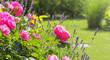 pink roses in garden