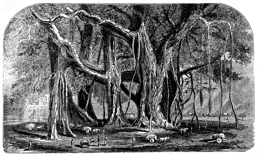 victorian engraving of a banian tree
