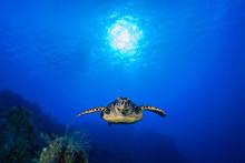 A Hawksbill Turtle Enjoys Crui...