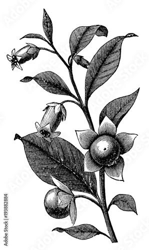 Valokuva  victorian engraving of a belladona branch