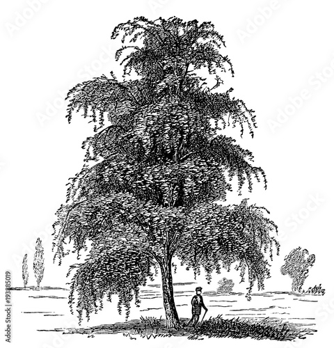 victorian engraving of a silver birch