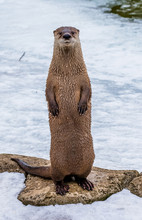 Otter Standing Up And Looking ...