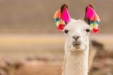 Fototapeta Zwierzęta - Andes region Bolivia lama closeup