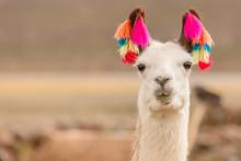 Andes Region Bolivia Lama Clos...