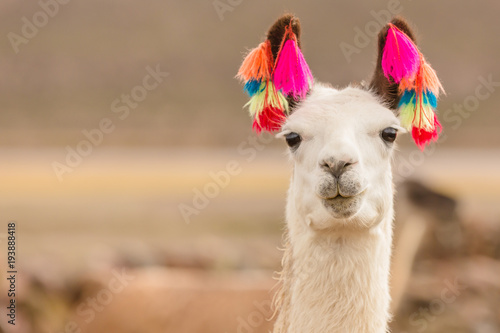 Andes region Bolivia lama closeup Canvas Print