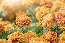 Beautiful Marigold Flower With Sun Light