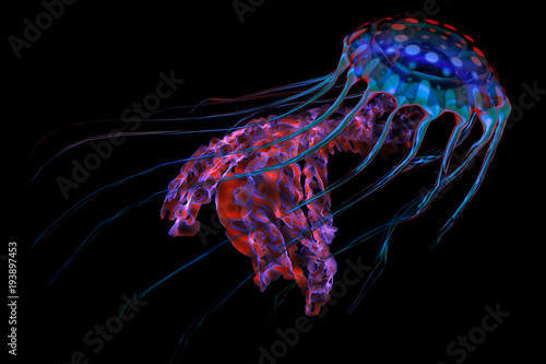 Blue Red Jellyfish on Black - The ocean jellyfish searches for fish prey and uses its poisonous tentacles to subdue the animals it hunts Canvas Print