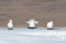 Three Seagull Sun Bathing Under The Sun On The Edge Of The Icy Lake