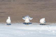 Three Seagull Sun Bathing Unde...