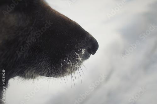 Papiers peints Arctique Frozen Dog Snout