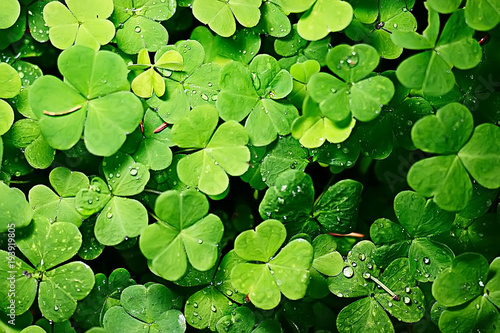 Fotografía background green shamrock/ nature background, fresh green juicy color, shamrock