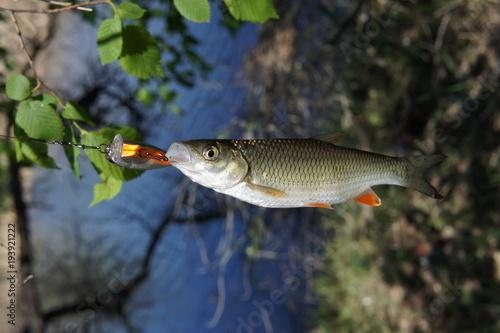 Fotobehang Sport fishing. The chub caught the bait. Fish on the hook. The chub is caught on the wobblers.