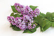 Branch of lilac with beautiful flowers on a white background.
