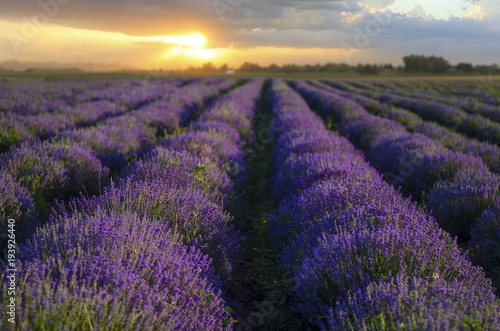 Fototapeta Beautiful landscape of lavender fields at sunset in Bulgaria obraz na płótnie