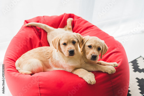 Two beige puppies lying on red bag chair