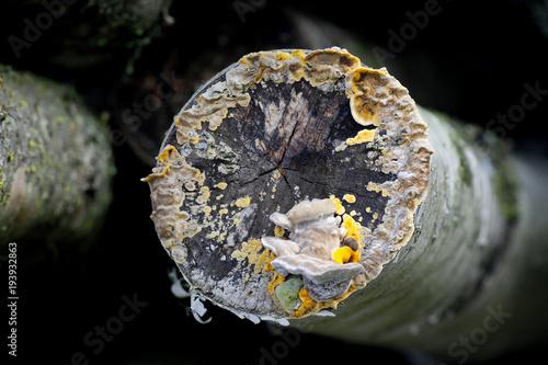 Fotografia, Obraz  Grayish mossy maze polypore (Cerrena unicolor) and golden colored false turkey t