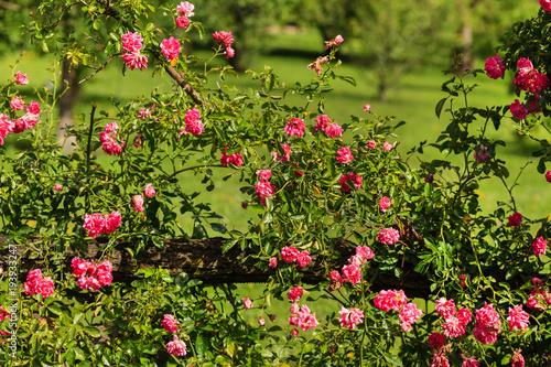 Cadres-photo bureau Jardin pink roses in garden