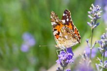 Australian Painted Lady Butterfly Sitting On Wild Lavender Flowers.