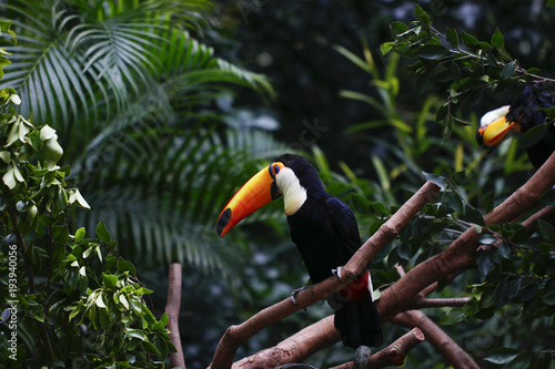 Tuinposter Toekan Toucan feeding in the zoo
