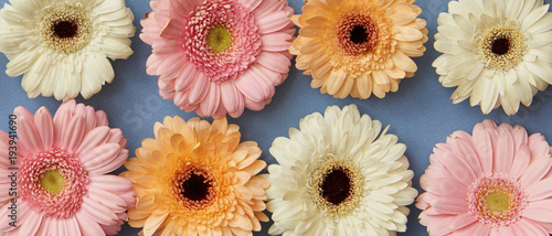 Fresh different gerberas on a blue paper background