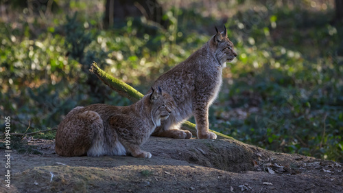 Fotobehang Lynx Lynx in woods Germany