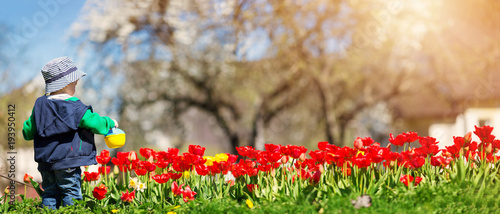Fotografía  Little child watering tulips on the flower bed in beautiful spring day