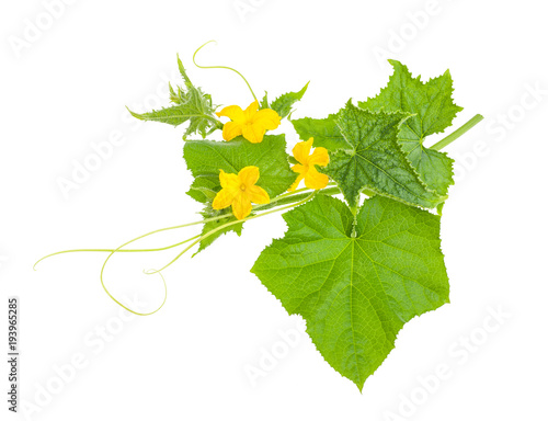 cucumber branch with flowers