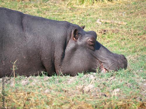 Foto op Aluminium Hyena Chobe national park,Botswana-August 18, 2016: hippopotamus and red-billed oxpecker in the Chobe national park, Botswana