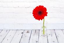 Red Gerbera Daisy