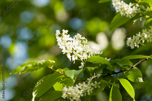 Spring flowers bird spring flowers bird cherry a tree with white spring flowers bird spring flowers bird cherry a tree with white fragrant flowers collected in a brush and black berries a small wild cherry tree or mightylinksfo