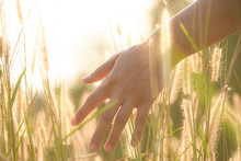 Close Up Woman Hand Is Touching Flower Grass  In Field With Sunset Light