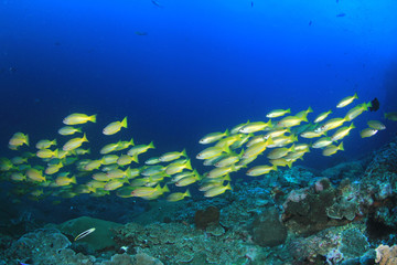 Fototapeta na wymiar Fish underwater coral reef