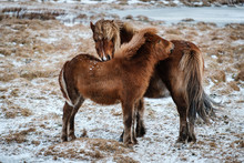 Typical Icelandic Hairy Horse ...