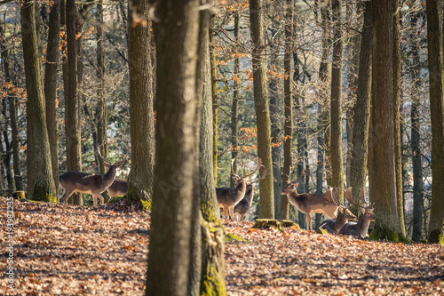 Fotobehang Ree Fallow Deer (Dama dama), in autumn forest, Czech Republic. Beautiful autumn colorful woods. Deer in the nature habitat. Animal in the forest meadow. Wildlife scene in Europe.