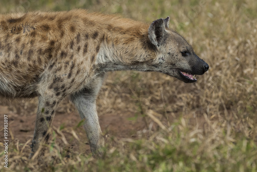Foto op Aluminium Hyena Hyena eating, Africa