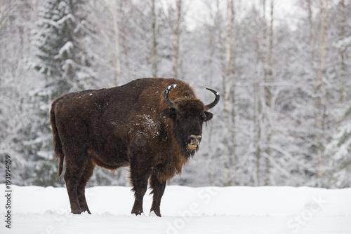 Fényképezés  Bison On Field