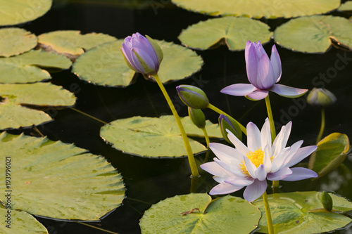 Staande foto Lotusbloem white water lily flower (lotus) and white background. The lotus flower (water lily) is national flower for India. Lotus flower is a important symbol in Asian culture