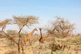 Fototapeta Sawanna - Giraffes among the trees on the savanna