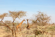 Giraffes Among The Trees On The Savanna