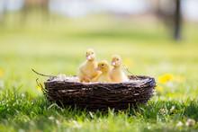 Three Little Ducklings In A Ne...