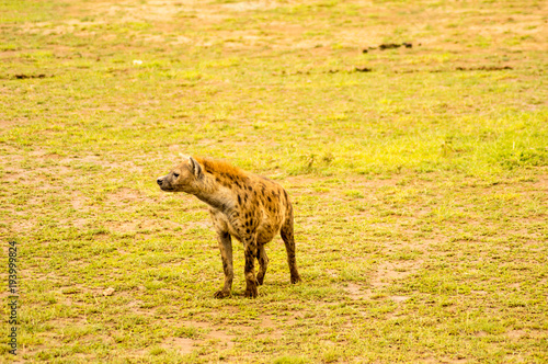 Staande foto Hyena Hyena isolate in the savannah plain of Amboseli Park in Kenya