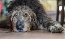 Irish Wolfhound Lying Down