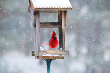 Vibrant Red Cardinal Eating Su...